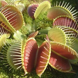 Mäsožravá rastlinka